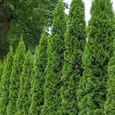 The Green Giant Arborvitae is also known as the Thuja Green Giant! Nature Hills Nursery offers unique plants for sale you won't find anywhere else. With a growth rate of feet a year, this tree has one of the fastest growth rates of any Arborvitae! Backyard Plants, Garden Shrubs, Backyard Landscaping, Landscaping Ideas, Eco Garden, Farmhouse Landscaping, Landscaping Software, Backyard Patio, Garden Art