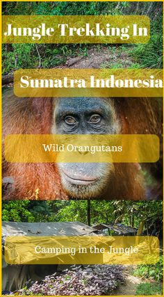 Jungle trekking in Sumatra Indonesia. Looking for wild orangutans and camping in the jungle. Click to read the full Adventure Travel Blog Post At http://www.divergenttravelers.com/jungle-thomas-jungle-tours/