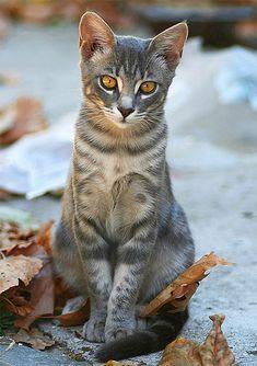 "AutumnCat (Feral / Stray kitten)  #CATS ✮✮Feel free to share on Pinterest"" ♥ღ www.FASHIONUPDATES.NET"