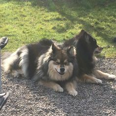 Mina and Isla - Finnish Lapphund @ Alkantara Kennel UK