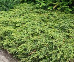 Juniperus communis 'Repanda' - kääpiökataja