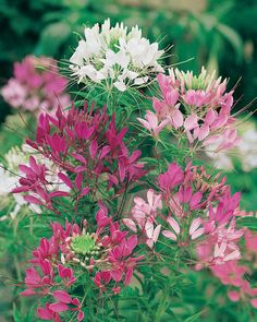Cleome - Color Fountain