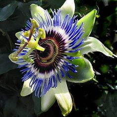 PASSIFLORA caerula Blue Passion flower 15 Plus Seeds  Seeds and Things , http://www.amazon.com/dp/B003I3GW5I/ref=cm_sw_r_pi_dp_imlEpb0NHB5QF