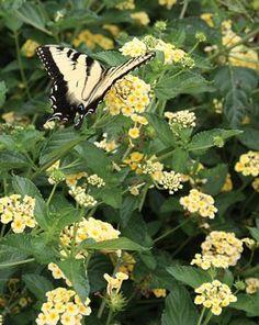 "Lantana 'Chapel Hill Yellow' PP 19,548 (Chapel Hill Yellow Lantana) early June til frost 2 "" tall"