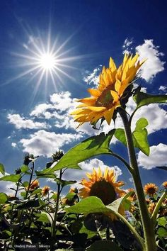 Out of several beautiful flowers, today we have picked some beautiful sunflower pictures for you. This flower is named as sunflower because it looks like sun… Sunny Pictures, Nature Pictures, Sunshine Pictures, Sunflower Photography, Nature Photography, Photography Backdrops, Photography Books, Photography Studios, Photography Flowers