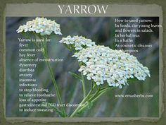 @ yarrow plant