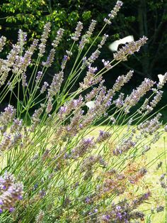 what a pleasant smell! Lavender, Italy, Flowers, Plants, How To Make, Italia, Plant, Royal Icing Flowers, Flower