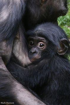 Bonobos @ Cincinnati Zoo & Botanical Garden