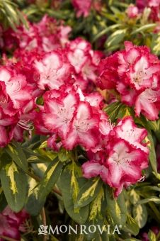 Monrovia's President Roosevelt Rhododendron details and information. Learn more about Monrovia plants and best practices for best possible plant performance.