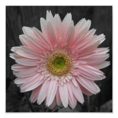 Gerbera Daisy Tattoo, Aster Flower Tattoos, Different Flowers, Types Of Flowers, Real Flowers, September Birth Flower, Birth Month Flowers, Mommy Tattoos, Arm Tattoos
