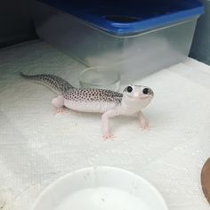 Gerald the Lizard Leopard Gecko Cute, Cute Gecko, Lepord Gecko, Leopard Gecko Habitat, Leopard Gecko Morphs, Cute Little Animals, Cute Funny Animals, Cute Cats, Cute Lizard