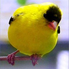 Le magnifique chardonneret jaune des états unis #الحسون #المقنين #القرديل #Chardonnerert #Canari #Mulet #MuletOiseau #Oiseau #Birds #Animaux #Goldfich #Jilguero #Cardellino #καρδερίνα #Sakakuşu #Chien #Chat #Pigeon #Cheval #Science #Reptile #Poisson #Plantes #Hibiscus #Alger #Algérie #Tunisie #Maroc #ChardonneretGolden #BilelKios