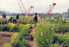 """Wandering through rows of basil and tomatoes, with the Manhattan skyline in the background and volunteers weeding and chatting away, I am struck by an intense 'I (heart) NY' moment. The sunny Eagle Street Rooftop Farm is a large urban garden with a lovely atmosphere that is quintessentially Brooklyn."""