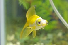 yellow telescope/ dragon eye goldfish