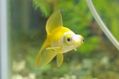 yellow telescope/ dragon eye goldfish