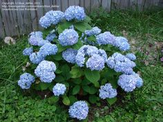 PlantFiles Pictures: Bigleaf Hydrangea, French Hydrangea, Mophead 'Nikko Blue' (Hydrangea macrophylla) by blue_dahlia Hydrangea Macrophylla, Nikko Blue Hydrangea, Shade Shrubs, Blue Dahlia, Landscape Plans, My Flower, Planting Flowers, Seeds