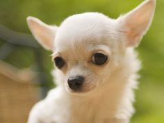 One Day One Puppy :D ♥ Chihuahua / Chiwawa ♥ small size ♥ two types of Chihuahuas; the long haired and the short haired Chihuahua. Teacup Chihuahua, Chihuahua Puppies, Chihuahuas, Cute Puppies, Cute Dogs, Dogs And Puppies, Baby Puppies, Chihuahua Facts, Baby Dogs