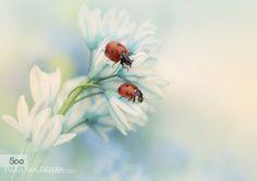 Ladybirds by jeverz. Please Like http://fb.me/go4photos and Follow @go4fotos Thank You. :-)