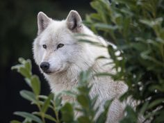 White Wolf Sitting Behind Some Greenery.