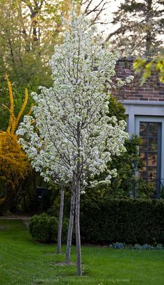 Chanticleer pear, a popular urban tree, tolerant of many conditions, somewhat foul odor when in bloom, Garden Trees, Trees To Plant, Garden Plants, Trees Online, Pyrus, Outdoor Flowers, Tree Shapes, Backyard Projects, Small Trees