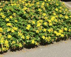 Aménager un talus avec des arbustes couvre-sols de soleil, à croissance rapide ou pour l\'ombre c\'est facile, on vous dit tout!