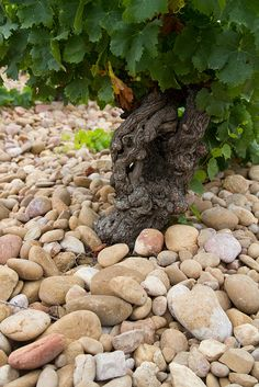 Chateauneuf du Pape - vineyard of chateau mont redon