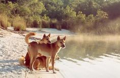 Fraser Island, Fraser Island, Australia — by Nomadic Dawn. Check these dudes cruising along the shore of Lake McKenzie. The Dingos of K'Gari are the purest existing form of the...