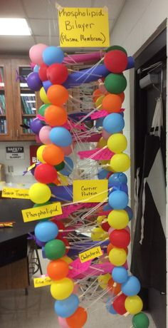 This is a class project we did to learn about the plasma membrane and its parts. The phospholipids were made of a balloon, two straws and masking tape to hold the tails onto the balloon. They were tied together on fishing string, glued together with rubber cement, then hung from the ceiling. The other parts were cut from heavy paper.