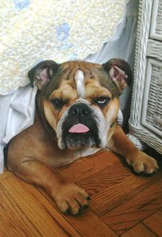 English Bulldog ~ no fair, you found my secret spot..