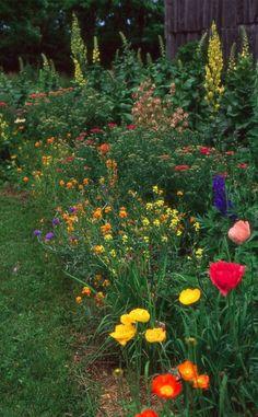 perennial cottage garden design - lots of different poppies and some Verbascum. Ontario garden