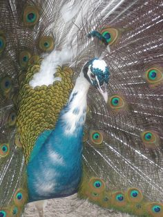 2 Peacock Peafowl Hatching Eggs from India Blue Pied Pen Pre Sale | eBay