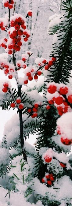 Beautiful Christmas plant, as lovely as holiday poinsettias for the winter season! RESEARCH #DdO) - CHRISTMAS KEYS - https://www.pinterest.com/DianaDeeOsborne/christmas-keys/ - Winterberries bush covered with snow. Red- berry trees come in both evergreen and deciduous species that drop leaves. Varieties range 15 to 50 feet high, feeding wild birds thru nasty cold weather. An old wives tale says #Winter will be bad when holly trees have lots of berries.
