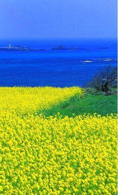 Yuchae flowers are in full bloom in Jeju Island, Korea