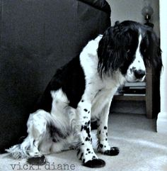 My picture of soulful poser Ben ~ my mate's gorgeous pooch <3