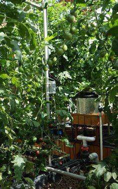 Tomates dans une serre aquaponique