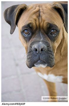 Boxer dog outdoor portrait: Makes me think of Harley :( RIP: March 12 2013