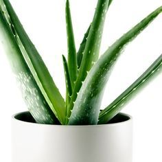 Aloe Vera plant is a popular house plant known for the healing properties of its gel-like sap. Find out how to grow aloe plants in pots, water, sunlight, repot. Aloe Vera, Landscaping Trees, Plants Are Friends, Herbs Indoors, Plant Pictures, Healthy Sleep, Bedroom Plants, Medicinal Herbs, Trees To Plant