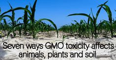 Seven ways GMO toxicity affects animals, plants and soil - Healthy Holistic Living