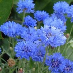 Cornflower http://media-cache8.pinterest.com/upload/275493702175605039_SPTmFkCq_f.jpg denise1130 cutting garden