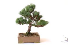 Wiring Bonsai trees to shape and bend the branches - Bonsai Empire
