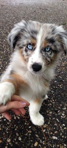 because we have a scottish collie at home - # have .-- because we have a Scottish collie at home – have… – Charles – Aussie Dogs, Australian Shepherd Dogs, Aussie Shepherd Puppy, Aussie Puppies For Sale, Mini Australian Shepard, Australian Puppies, Mini Aussie Puppy, Cute Dogs Breeds, Cute Dogs And Puppies