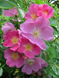 ~Hybrid Rugosa Shrub Rose: Rosa 'Roselina' (Germany, 1992)