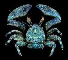 Beautiful Sea Creatures, Deep Sea Creatures, Animals Beautiful, Octopus Pictures, Marine Photography, Land Turtles, Sea Crab, Crab Art, Fishing World