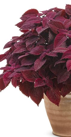 Proven Winners - ColorBlaze® Rediculous® - Coleus - Solenostemon scutellarioides red plant details, information and resources. Outdoor Landscaping, Landscaping Plants, Container Plants, Container Gardening, Coleus Care, Red Shrubs, Red Perennials, Sage Plant, Lotus Plant