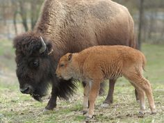 A newborn bison calf is introduced to the media at the Trexler Lehigh County Nature Preserve and Zoo.