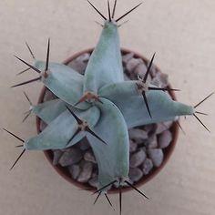 STENOCEREUS (LEMAIREOCEREUS) PRUINOSUS 4cm silver-grey stemmed columnar cactus