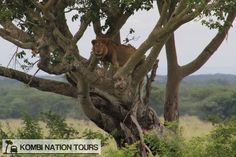 Tree-climbing male lion! For more information on Uganda's National Parks and Reserves, please visit our website.
