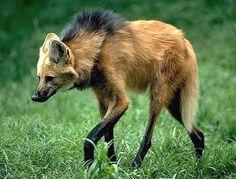 """The Maned Wolf is the largest canine species in South America. But it isn't a wolf (or a fox) at all. It's actually a member of its own genus! Although due to its coloring, many people refer to it as a """"red fox on stilts."""" Their mane, which runs from the back of the head to shoulders, can be erected in order to intimidate other animals or if it feels threatened.  (The fur looked more red in other photos, but the mane was more evident in this one.)      from The Featured Creature"""