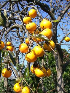 Tanenashi Persimmons on tree