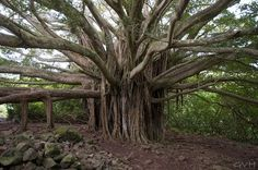 This banyan tree was located on the island of Maui in the Haleakala National Park. I can just imagine all the stories this tree could tell if it could talk. Visit Hawaii, Maui Hawaii, Lahaina Maui, Kauai, Wise One, Maui Vacation, Vacation Ideas, Thing 1, Fig Tree